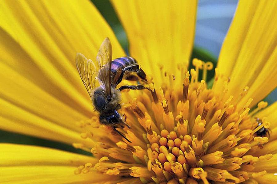 Polenul floral vs. Polenul de albine la pacienții cu astm