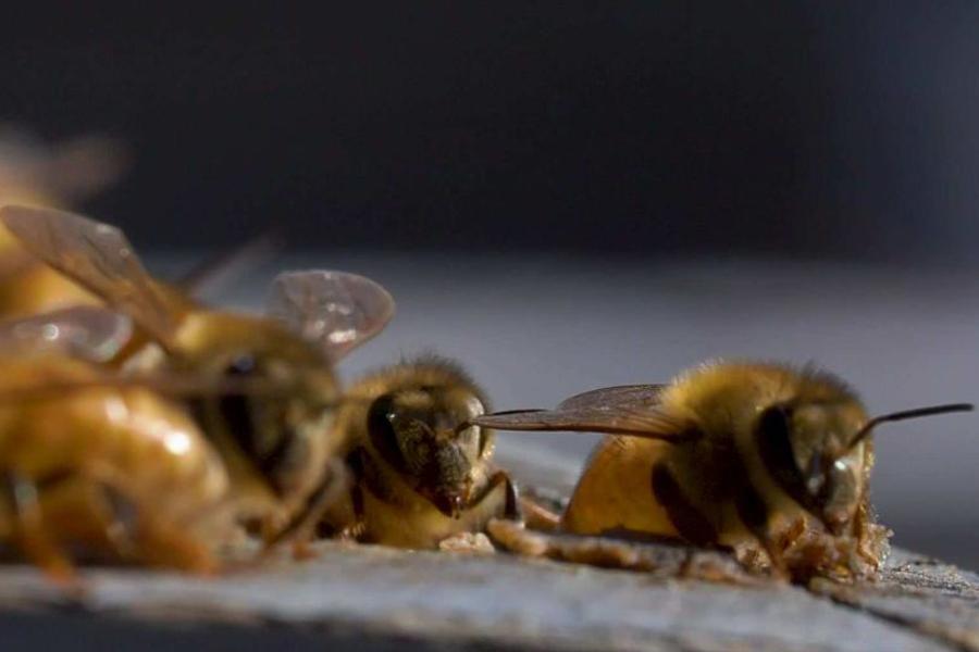 Veninul albinelor poate ucide celulele agresive ale cancerului de sân